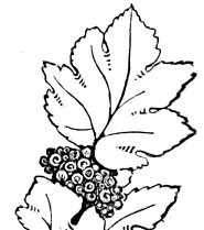 Vintage Grapes and Leaves Embroidery Design